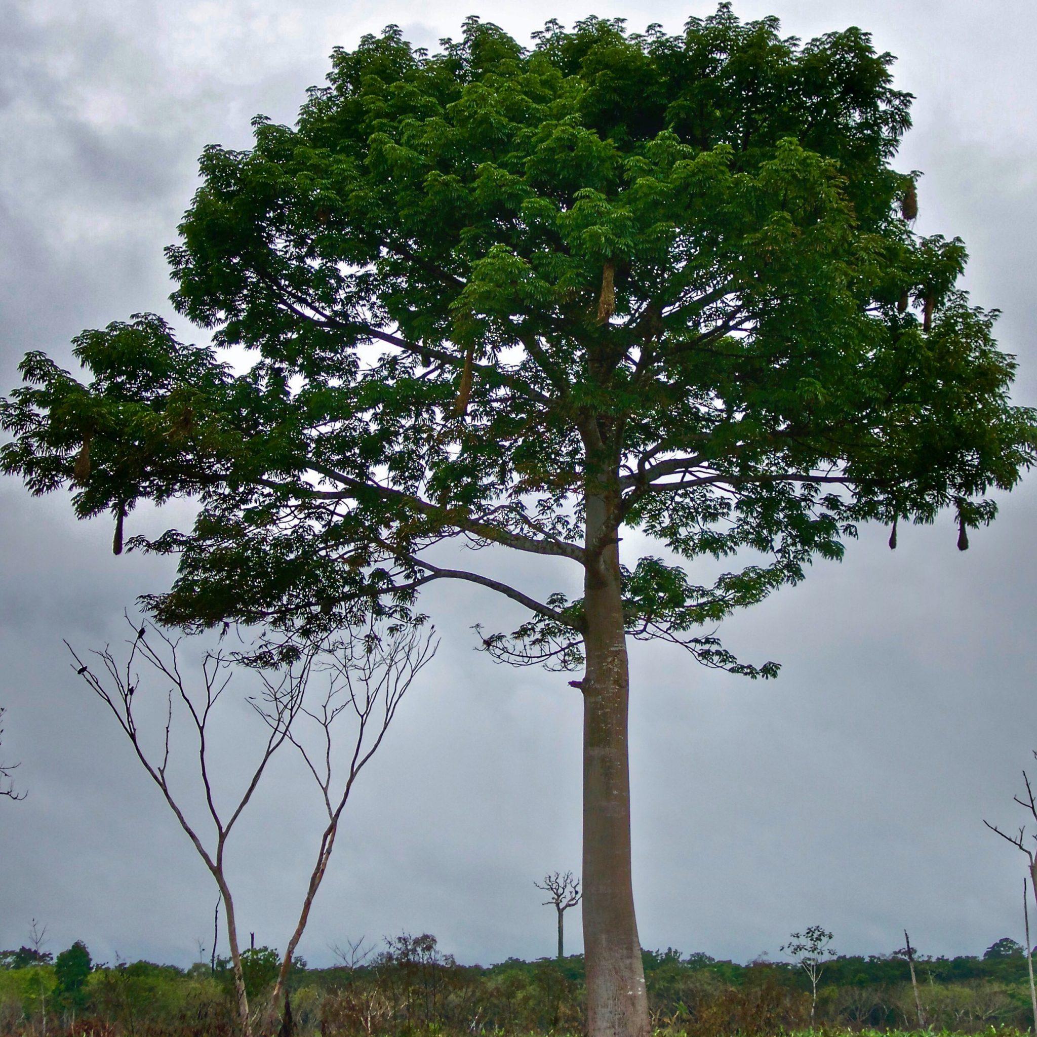 """""""Wanamey, el árbol de la vida"""". Relato de origen de los Wachiperi"""